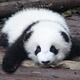 ジャイアントパンダの赤ちゃんは「早く生まれ過ぎている」米研究