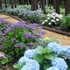 三島スカイウォーク北エリアのあじさいの小道には色とりどりのあじさいが咲き誇る/写真は主催者提供