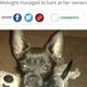 就寝中の父と娘を救ったヒーロー犬(画像は『Hull Live 2021年6月14日付「Tiny dog with the loudest bark saved two lives in horror flat fire」』のスクリーンショット)