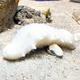 マリホ水族館で展示されている白ナマコ(広島市西区で)
