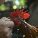 闘鶏用の鶏(2020年9月21日撮影、資料写真)。(c)YAMIL LAGE / AFP
