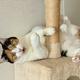 「にゃんてこった」キャットタワーにお腹がつっかえ抜けなくなった猫