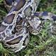ビルマニシキヘビ。米フロリダ州にて(2019年4月25日撮影、資料写真)。(c)RHONA WISE / AFP