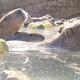冬の風物詩「カピバラの露天風呂」伊東温泉