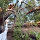 台風19号の暴風で折れた国の天然記念物「三恵の大ケヤキ」=15日、山梨県南アルプス市寺部(渡辺浩撮影)