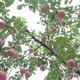 太行山脈の麓に実ったリンゴ、人々を豊かに 河北省邢台市