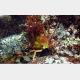 新種オオヨツハモガニの最終脱皮後の雄成熟個体。(画像:東京大学発表資料より)